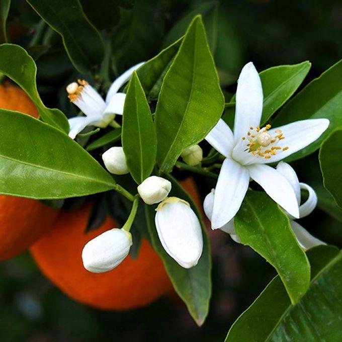 Huile essentielle Néroli (10%) (Fleurs d'oranger) - Laboratoire Pure arôme  - Fournisseur matières premières cosmétiques DIY